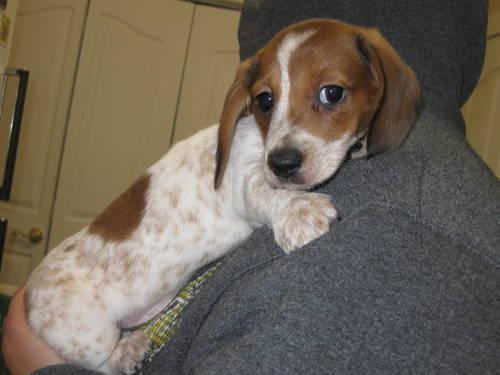JACK ~ Red Longhaired Piebald Male Miniature Dachshund ...