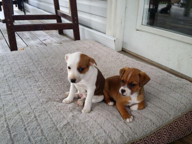 Jack russel boston terrier mix puppies