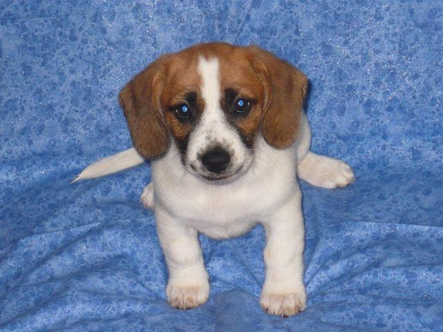 Jack Russellbeagle Puppies Reduced For Sale In La Fayette