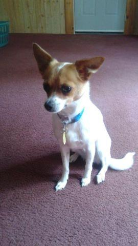 Jack Russell Chihuahua Mix For Sale In Seymour Tennessee