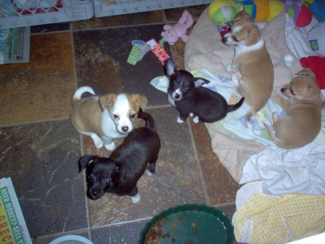 Jack Russell-Chihuahua mix puppies for Sale in Mayport ...