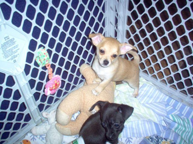 Jack Russell Chihuahua Mix Puppies Price Reduced For Sale In