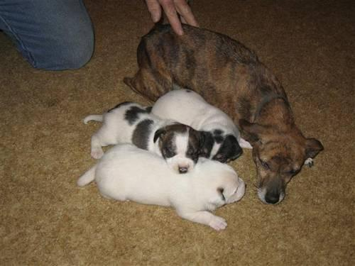 Jack Russell Feist Mix Puppy