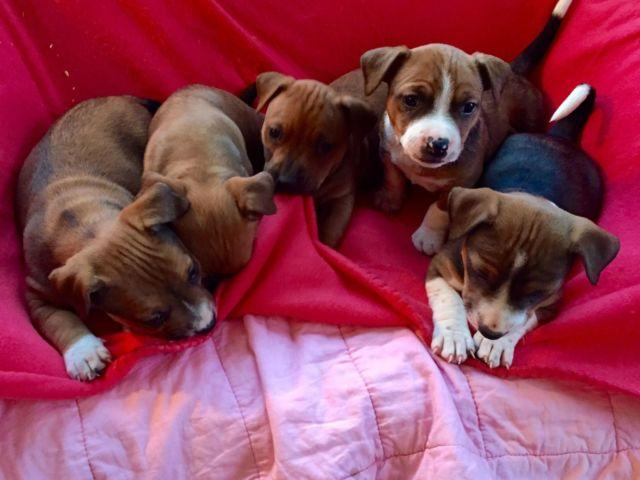 Jack Russell Pitbull Cross Puppies For Sale In Martell Wisconsin