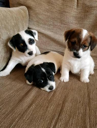 Jack Russell Puppies For Sale In Des Moines Iowa Classified