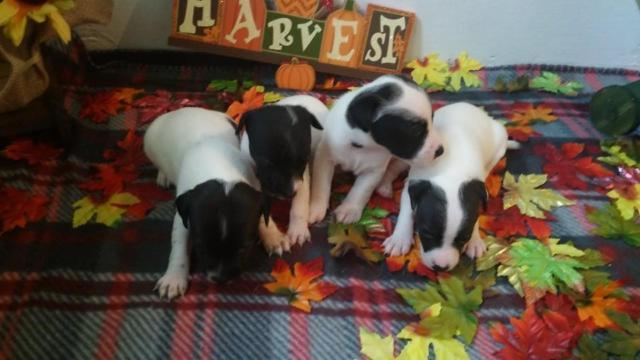 Jack Russell Puppies Va For Sale In Virginia Beach Virginia