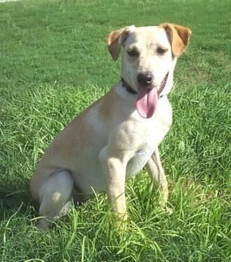 jack russell terrier white lab mix - photo #6
