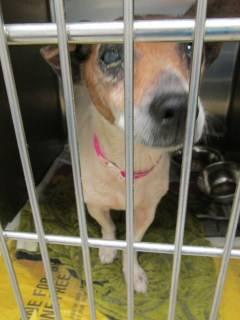 Jack Russell Terrier - Gracie 75946 - Small - Senior -