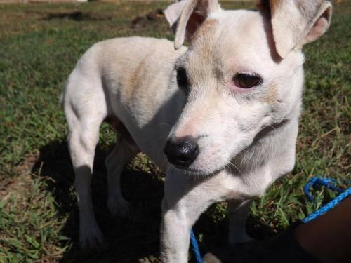 Jack Russell Terrier - Jackson - Medium - Adult - Male