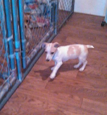 Jack Russell Terrier Male Puppy For Adoption - 13 Weeks