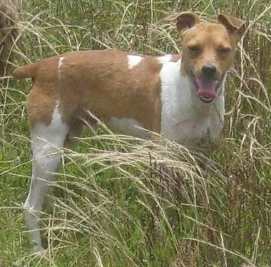 Jack Russell Terrier (Parson Russell Terrier) - Jake Or