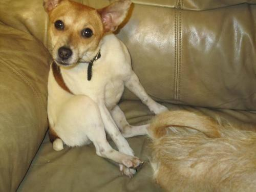 Jack Russell Terrier (Parson Russell Terrier) - Lady