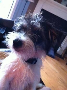 Jack Russell Terrier (Parson Russell Terrier) - Oscar -