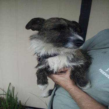 Jack Russell Terrier - Pauline - Small - Adult - Female