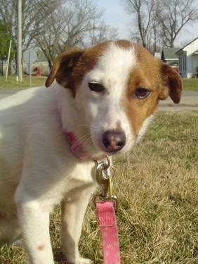 Jack Russell Terrier - Peanut - Small - Adult - Male -