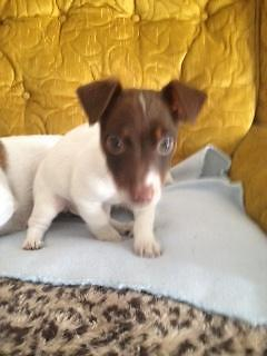 Jack Russell Terrier puppies UKC