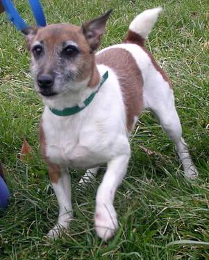 Jack Russell Terrier - Sherlock - Medium - Adult - Male