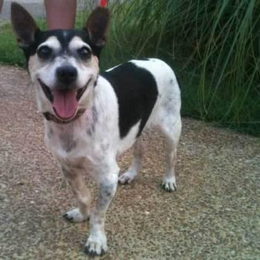 Jack Russell Terrier - Tinkerbell - Small - Adult -