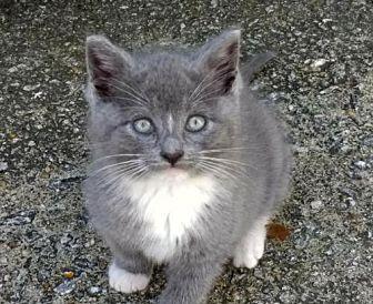 Jackie Russian Blue Kitten Female for Sale in Buford ...