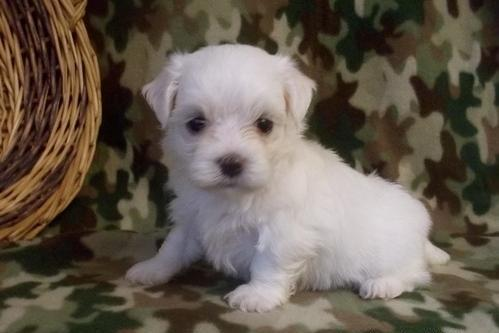 Jackky teacup maltese puppies