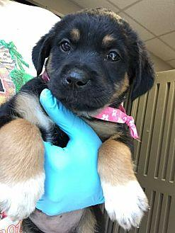 Jaclin Ny Jeannette Rottweiler Puppy Female For Sale In Bonney