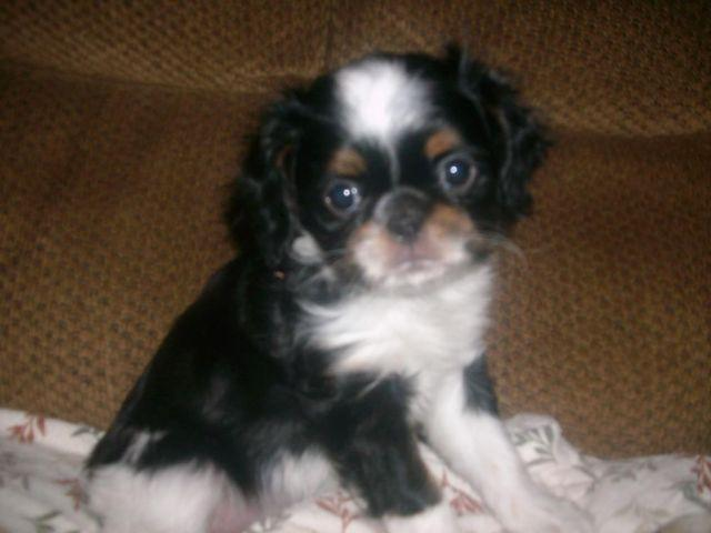 JAPANESE CHIN/ENGLISH TOY SPANIEL PUPS adorable family pets! !