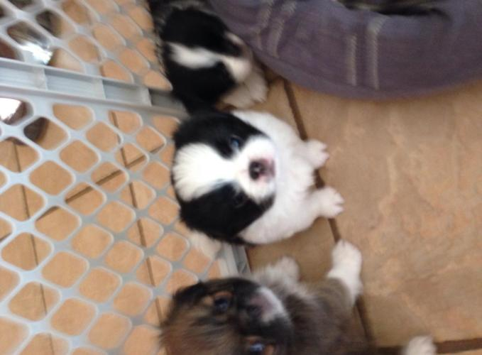 Jatzu Puppies For Sale