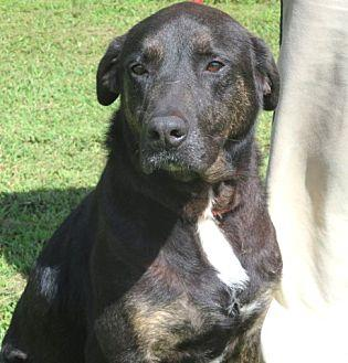 Java Labrador Retriever Adult Male