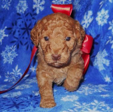 Jazzlyn - Mahogany Red Mini Labradoodle Puppy for