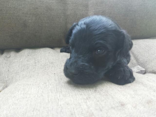 JB, Giant Schnoodle male puppy for Sale in Pikeville ...
