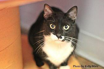 Jefferson Domestic Shorthair Adult Male