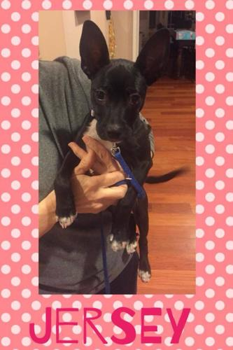 Jersey Pharaoh Hound Baby - Adoption, Rescue for Sale in ...