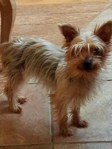 Adult sale terrier yorkshire are