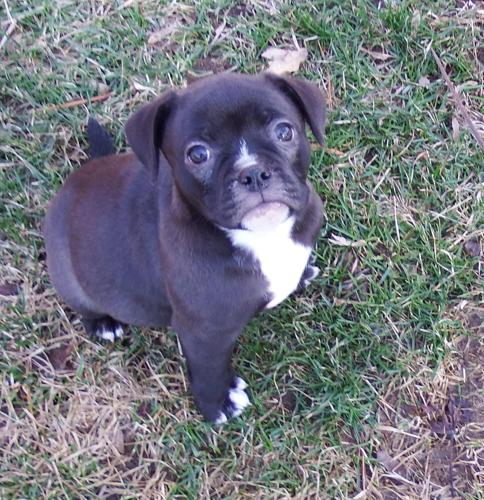 pug rescue ny jewel pug baby adoption rescue for sale in rochester 9351