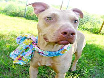 JILLIAN American Pit Bull Terrier Adult Female