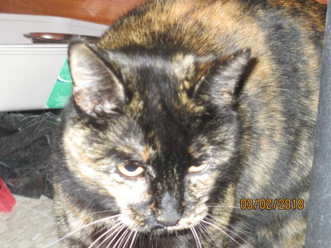 Jilly Bean Tortoiseshell Young Adoption Rescue For Sale In Sonora California Classified