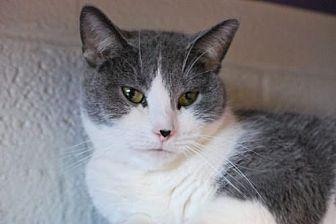 Joanie Domestic Shorthair Adult Female