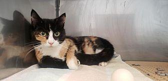 Joanna Domestic Shorthair Young Female