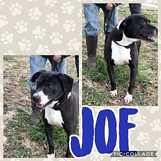 Joe Labrador Retriever Adult Male