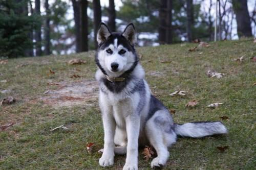 Huskita Puppies Pets And Animals For Sale In The Usa Puppy And