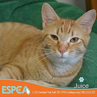 Juice Domestic Shorthair Young Female