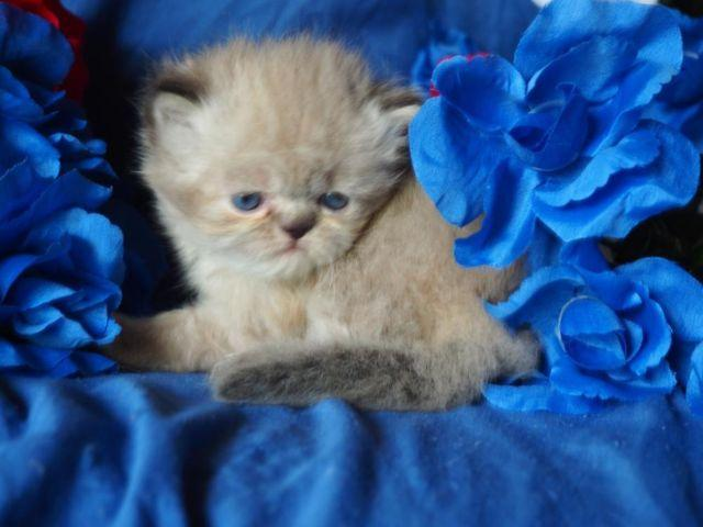 JULY SUMMER SALE! CFA HIMALAYAN SEAL LYNX POINT BOY