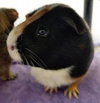 Jupiter Guinea Pig Adult - Adoption, Rescue