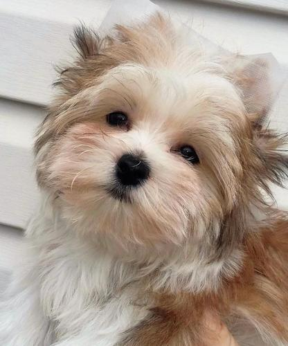 Just Reduced Finn Adorable Gold And White Parti Yorkie