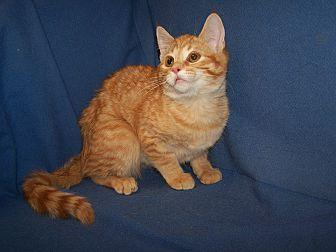 K-Meghan-Sarabe Domestic Shorthair Young Female