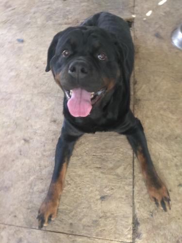 Kahlua Rottweiler Adult - Adoption, Rescue