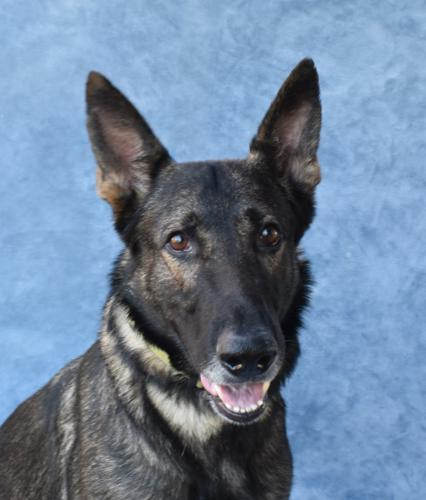 KAISER German Shepherd Dog Adult - Adoption, Rescue for Sale in