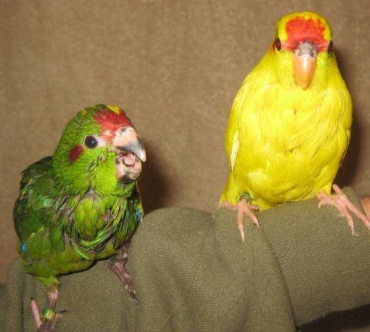 Kakariki Chicks