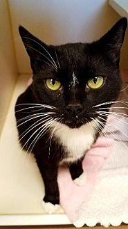 Karen Domestic Shorthair Adult Female
