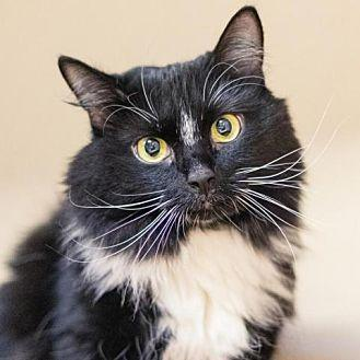 Karli Domestic Longhair Adult Female